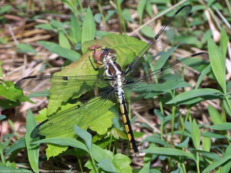 A Great Blue Skimmer dragonfly (Libellula vibrans) spotted at Huntley Meadows Park, Fairfax County, Virginia USA. This individual is an immature female.
