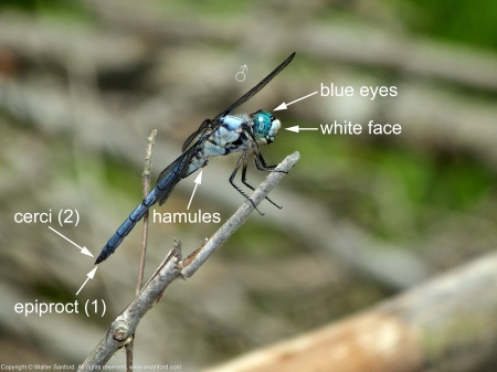 A Great Blue Skimmer dragonfly (Libellula vibrans) spotted at Huntley Meadows Park, Fairfax County, Virginia USA. This individual is a male.