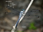 Great Blue Skimmer dragonfly (youngmale)