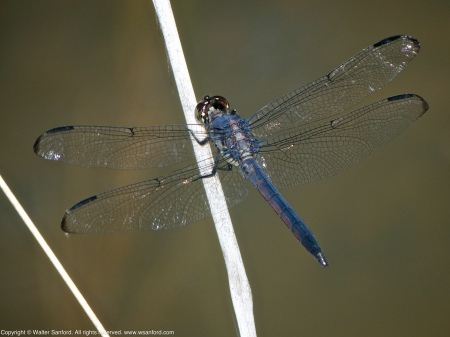 A Slaty Skimmer dragonfly (Libellula incesta) spotted at Huntley Meadows Park, Fairfax County, Virginia USA. This individual is a young male with a slightly malformed wing.