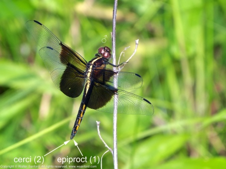 A Widow Skimmer dragonfly (Libellula luctuosa) spotted at Huntley Meadows Park, Fairfax County, Virginia USA. This individual is an immature male.