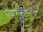 Bar-winged Skimmer dragonfly (maturemale)