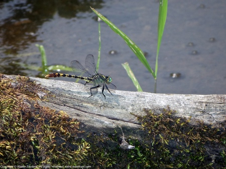 A Unicorn Clubtail dragonfly (Arigomphus villosipes) spotted at Huntley Meadows Park, Fairfax County, Virginia USA. This individual is a male.