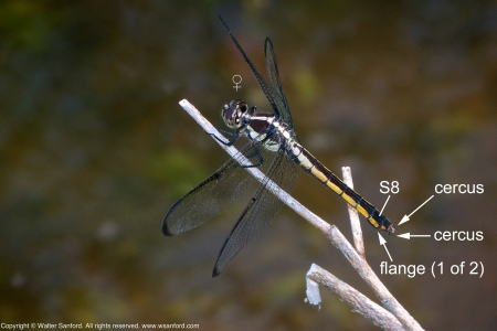 A Slaty Skimmer dragonfly (Libellula incesta) spotted at Huntley Meadows Park, Fairfax County, Virginia USA. This individual is a mature female member of a mating pair.