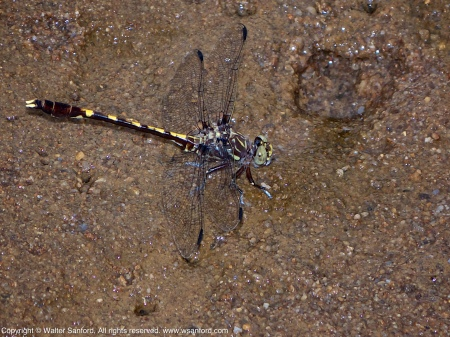 A Common Sanddragon dragonfly (Progomphus obscurus) spotted at Huntley Meadows Park, Fairfax County, Virginia USA. This individual is a male.