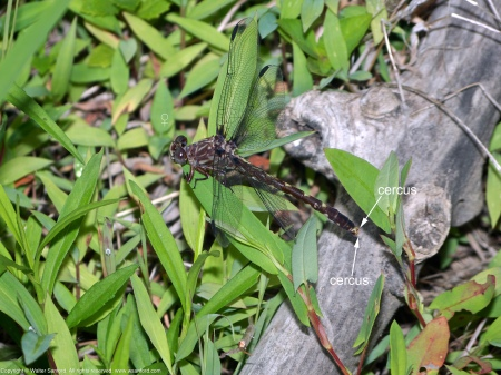 A Common Sanddragon dragonfly (Progomphus obscurus) spotted at Huntley Meadows Park, Fairfax County, Virginia USA. This individual is a female.
