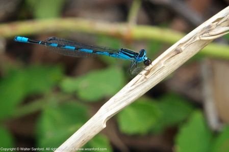 A Big Bluet damselfly (Enallagma durum) spotted at Accotink Bay Wildlife Refuge, Fairfax County, Virginia USA. This individual is a male, shown eating an unknown insect.