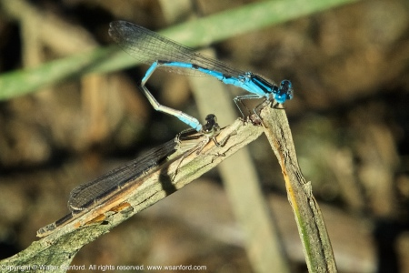 A mating pair of Big Bluet damselflies (Enallagma durum) spotted at Accotink Bay Wildlife Refuge, Fairfax County, Virginia USA. This pair is in tandem.