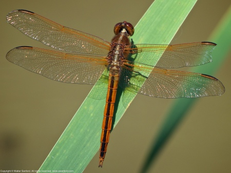 A Needham's Skimmer dragonfly (Libellula needhami) spotted at Huntley Meadows Park, Fairfax County, Virginia USA. This individual is a male.