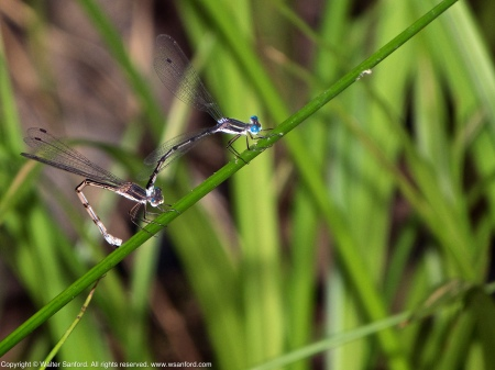 A mating pair of Southern Spreadwing damselflies (Lestes australis) spotted at Huntley Meadows Park, Fairfax County, Virginia USA. This pair is in tandem; the female is laying eggs (oviposition).