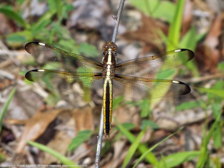 A Spangled Skimmer dragonfly (Libellula cyanea) spotted  at Huntley Meadows Park, Fairfax County, Virginia USA. This individual is a female.