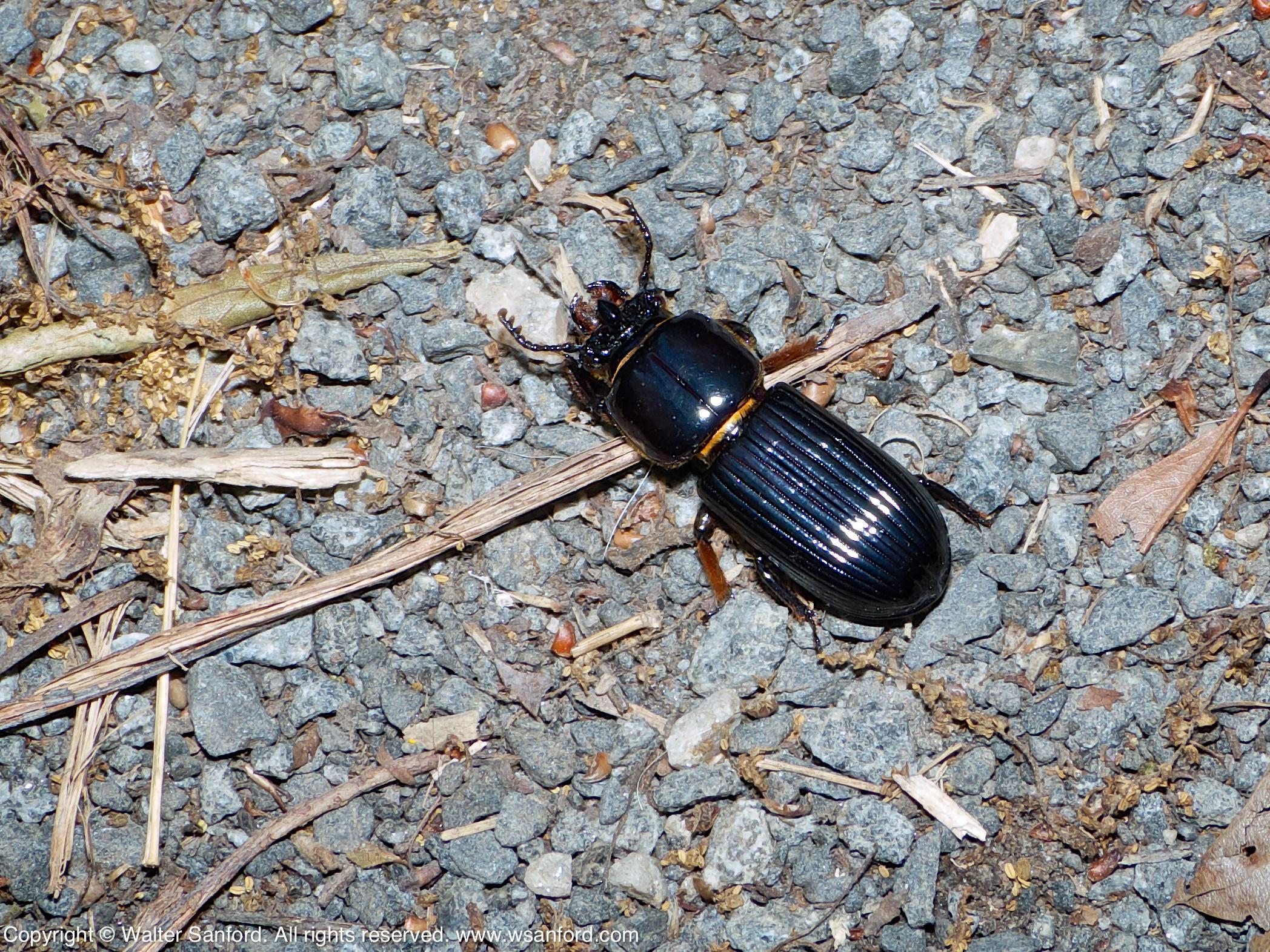 Meet the Beetles, Part 1 – Bess Beetle and Stag Beetle
