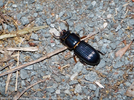 A Bess Beetle (Odontotaenius disjunctus) spotted at Huntley Meadows Park, Fairfax County, Virginia USA.