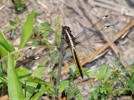 A Spangled Skimmer dragonfly (Libellula cyanea) spotted  at Huntley Meadows Park, Fairfax County, Virginia USA. This individual is an immature male.