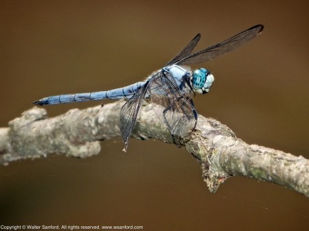 A Great Blue Skimmer dragonfly (Libellula vibrans) spotted at Huntley Meadows Park, Fairfax County, Virginia USA. This individual is a mature male.