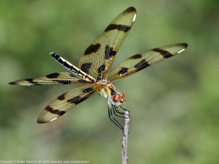 A Halloween Pennant dragonfly (Celithemis eponina) spotted near Dogue Creek, Huntley Meadows Park, Fairfax County, Virginia USA. This individual is a female with a mild infestation of black water mites.