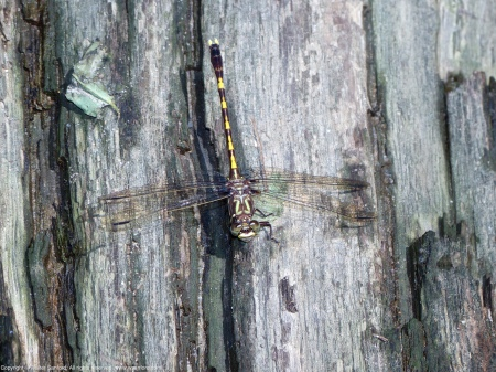 A Common Sanddragon dragonfly (Progomphus obscurus) spotted at Barnyard Run, Huntley Meadows Park, Fairfax County, Virginia USA. This individual is a male.