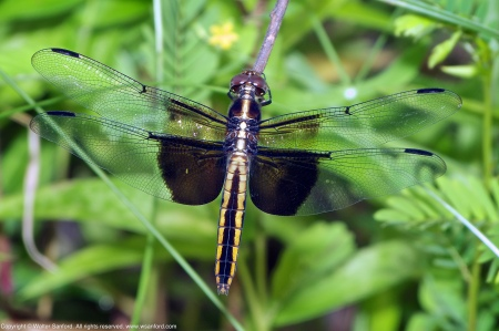A Widow Skimmer dragonfly (Libellula luctuosa) spotted at Huntley Meadows Park, Fairfax County, Virginia USA. This individual is a female with a slightly malformed abdomen.