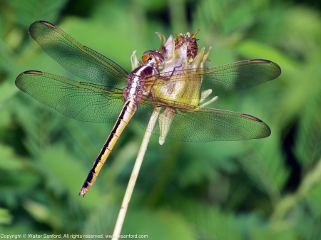 A Needham's Skimmer dragonfly (Libellula needhami) spotted at Huntley Meadows Park, Fairfax County, Virginia USA. This individual is a female.