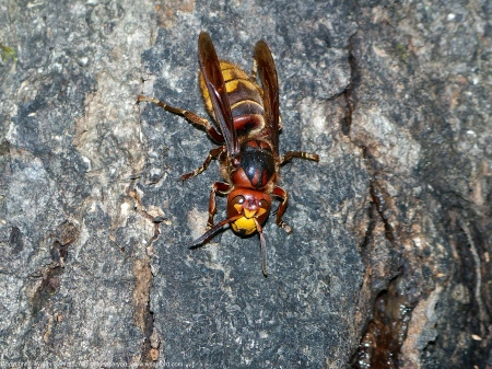 A European Hornet (Vespa crabro) spotted at Huntley Meadows Park, Fairfax County, Virginia USA. This individual is a female.