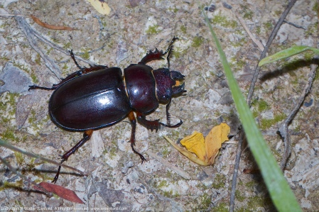A Reddish-brown Stag Beetle (Lucanus capreolus) spotted at Huntley Meadows Park, Fairfax County, Virginia USA. This individual is a female.