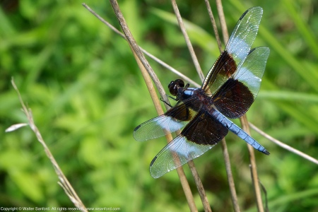 A Widow Skimmer dragonfly (Libellula luctuosa) spotted at Jackson Miles Abbott Wetland Refuge, Fairfax County, Virginia USA. This individual is a mature male.