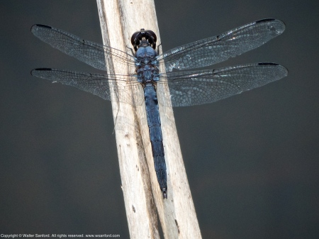A Slaty Skimmer dragonfly (Libellula incesta) spotted at Huntley Meadows Park, Fairfax County, Virginia USA. This individual is a mature male.