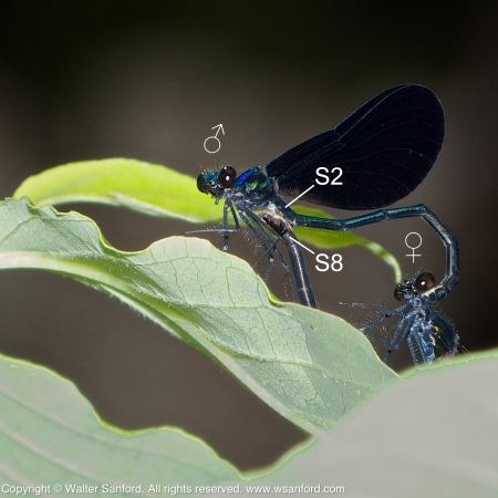 A mating pair of Ebony Jewelwing damselflies (Calopteryx maculata) spotted at Huntley Meadows Park, Fairfax County, Virginia USA. This pair is in wheel (in heart).
