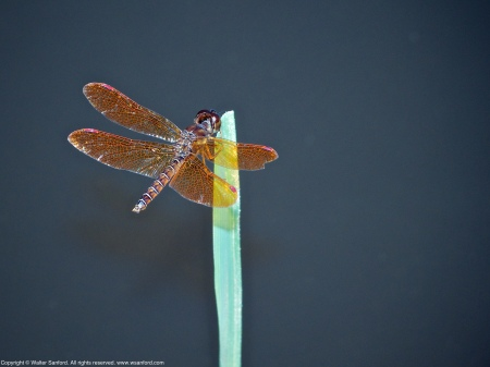 An Eastern Amberwing dragonfly (Perithemis tenera) spotted at Huntley Meadows Park, Fairfax County, Virginia USA. This individual is a male.