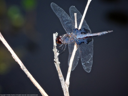 A Black Saddlebags dragonfly (Tramea lacerata) spotted at Huntley Meadows Park, Fairfax County, Virginia USA. This individual is a male.