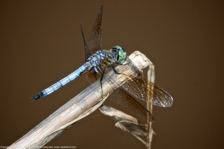 A Blue Dasher dragonfly (Pachydiplax longipennis) spotted at Huntley Meadows Park, Fairfax County, Virginia USA. This individual is a male.