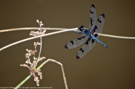 A Banded Pennant dragonfly (Celithemis fasciata) spotted at Mulligan Pond, Jackson Miles Abbott Wetland Refuge, Fairfax County, Virginia USA. This individual is a male.