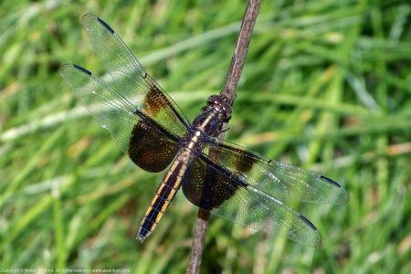A Widow Skimmer dragonfly (Libellula luctuosa) spotted at Woodlawn Village (near Jackson Miles Abbott Wetland Refuge), Fairfax County, Virginia USA. This individual is a female.