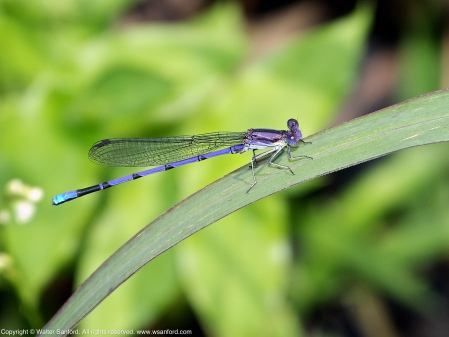 A Variable Dancer damselfly (Argia fumipennis) spotted at Dogue Creek near Huntley Meadows Park, Fairfax County, Virginia USA. This individual is a male.