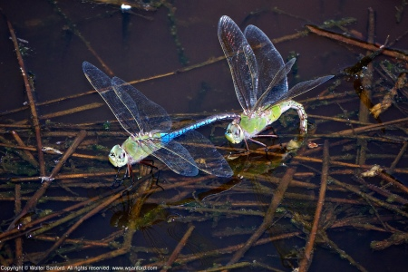 A mating pair of Common Green Darner dragonflies (Anax junius) spotted at Huntley Meadows Park, Fairfax County, Virginia USA. This pair is in tandem as the female lays eggs by the process of oviposition.