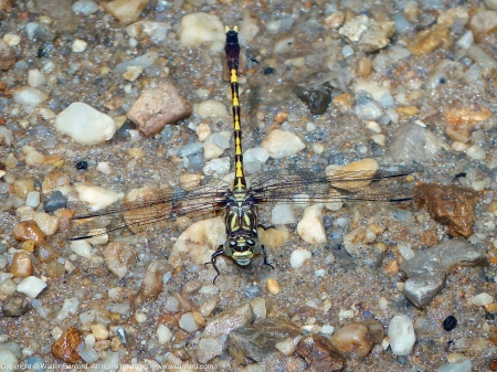 A Common Sanddragon dragonfly (Progomphus obscurus) spotted at Dogue Creek, Wickford Park, Fairfax County, Virginia USA. This individual is a male.