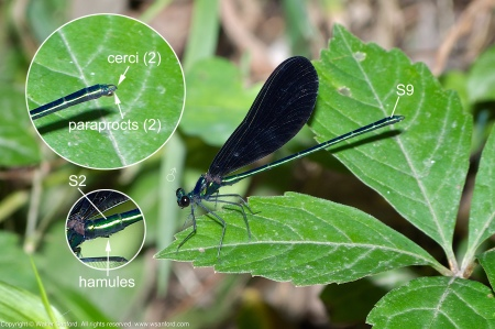 An Ebony Jewelwing damselfly (Calopteryx maculata) spotted at Dogue Creek, Wickford Park, Fairfax County, Virginia USA. This individual is a male.