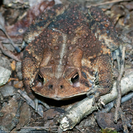 An Eastern American Toad (Anaxyrus americanus) spotted at Huntley Meadows Park, Fairfax County, Virginia USA.