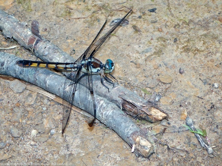 A Great Blue Skimmer dragonfly (Libellula vibrans) spotted at Huntley Meadows Park, Fairfax County, Virginia USA. This individual is a female.
