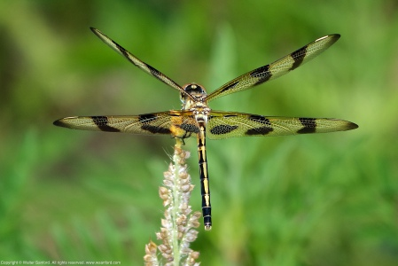 A Halloween Pennant dragonfly (Celithemis eponina) spotted near Dogue Creek, Huntley Meadows Park, Fairfax County, Virginia USA. This individual is a female.