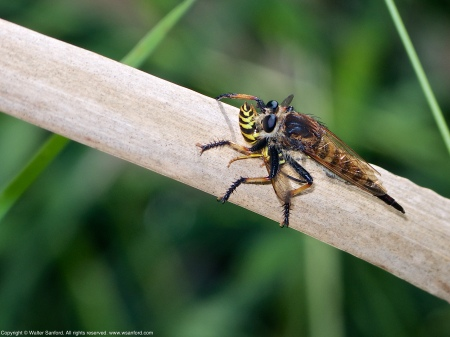 A Red-footed Cannibalfly (Promachus rufipes), a species of robber fly (Family Asilidae), eating a Yellowjacket (Vespula sp.) at Huntley Meadows Park, Fairfax County, Virginia USA.