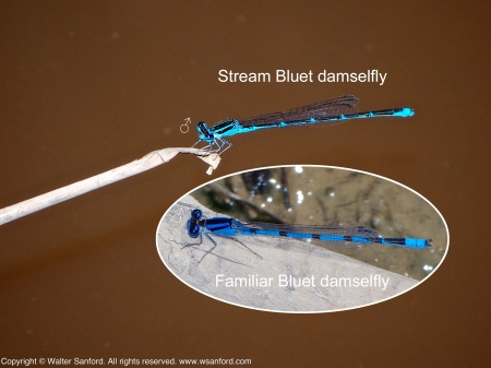 A Stream Bluet damselfly (Enallagma exsulans) spotted at Huntley Meadows Park, Fairfax County, Virginia USA. This individual is a male.