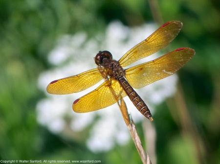An Eastern Amberwing dragonfly (Perithemis tenera) spotted at Jackson Miles Abbott Wetland Refuge, Fairfax County, Virginia USA. This individual is a male.