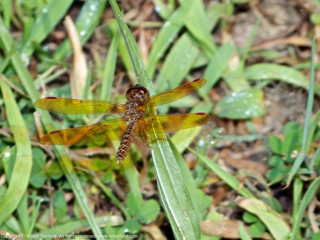 An Eastern Amberwing dragonfly (Perithemis tenera) spotted at Jackson Miles Abbott Wetland Refuge, Fairfax County, Virginia USA. This individual is an andromorph female.