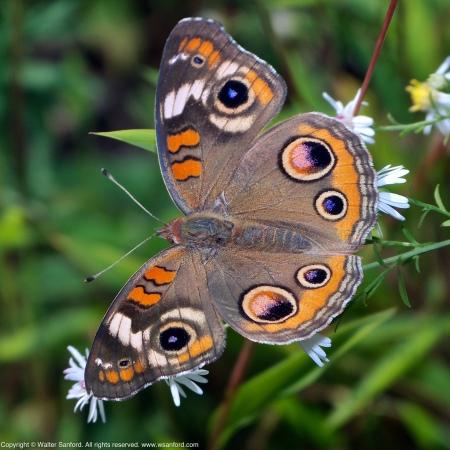 A (Common) Buckeye butterfly (Junonia coenia) spotted at Huntley Meadows Park, Fairfax County, Virginia USA.