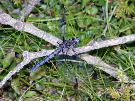 A Great Blue Skimmer dragonfly (Libellula vibrans) spotted at Huntley Meadows Park, Fairfax County, Virginia USA. This individual is an old, injured female.