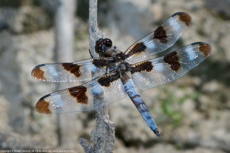 A Twelve-spotted Skimmer dragonfly (Libellula pulchella) spotted at Huntley Meadows Park, Fairfax County, Virginia USA. This individual is a mature male.