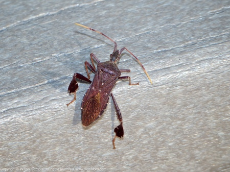 A Leaf-footed Bug (Leptoglossus oppositus) spotted at Huntley Meadows Park, Fairfax County, Virginia USA.