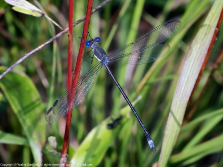 "A Great Spreadwing damselfly (Archilestes grandis) spotted at Huntley Meadows Park, Fairfax County, Virginia USA. This individual is a male, nicknamed ""Bendy Straw."""
