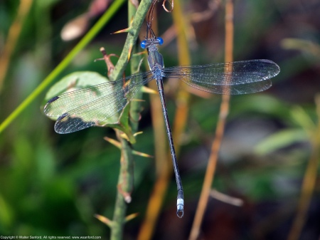 A Great Spreadwing damselfly (Archilestes grandis) spotted at Huntley Meadows Park, Fairfax County, Virginia USA. This individual is a male, nicknamed